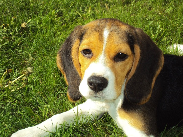 Dog, Beagle, Puppy, Animal, Grass - Free image - 2681